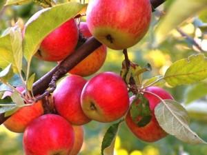 За яблони и плодовые культуры можно получить субсидии