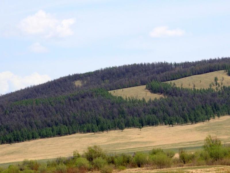 Хвойная волнянка и шелкопряд угрожают деревьям в Забайкалье