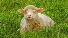 Пригород Парижа обживают овцы