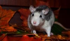 Жители шведского города переживают нашествие гигантских крыс