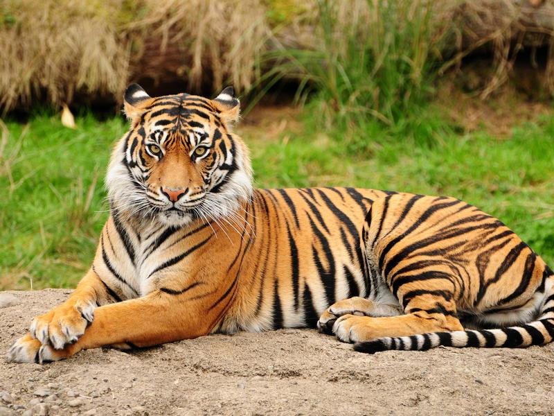 Амурского тигра и трех маралов привезли в зоопарк Читы из Новосибирска