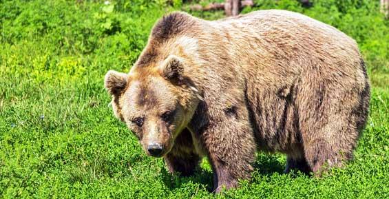 На Камчатке медведь ломился в дверь дачного дома и загнал мужчину на дерево