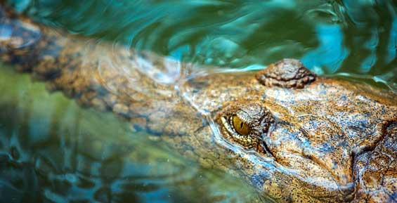 Камчатского крокодила Гену с рынка на шестом километре отдадут в зоопарк