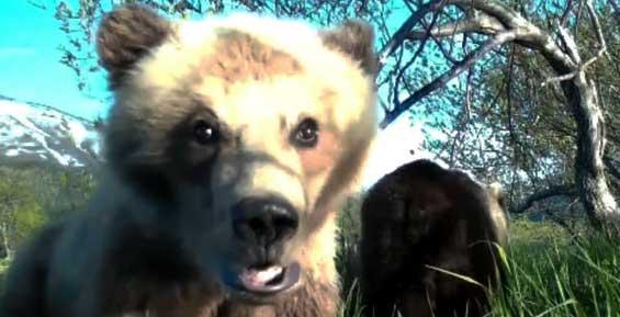 В Кроноцком заповеднике на Камчатке медвежонок сделал видео-селфи