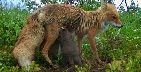 В Кроноцком заповеднике специалисты наблюдают за лисятами (фото)