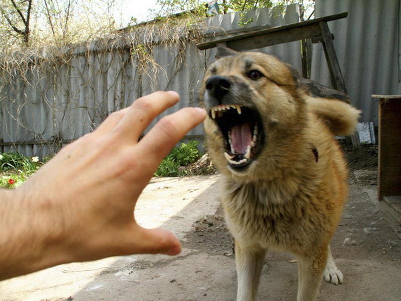 Три собаки при хозяйке напали на девочку в Чите