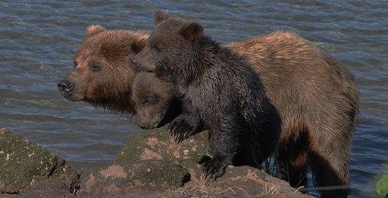 Камчатские медведи наблюдали за матчем в поддержку сборной России