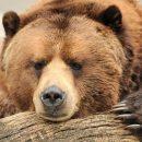 ФСБ предложила признать медведей и кабаргу стратегически важными ресурсами