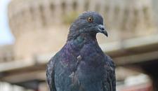За жителями Лондона подглядывают голуби