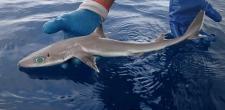 Открыт новый вид акул, напоминающих героев аниме