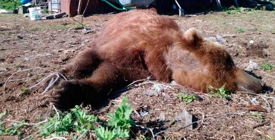 На Камчатке убили четвертого медведя, который околачивался у городского кладбища