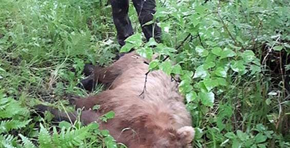 На Елизовском кладбище охотоведы убили второго медведя, еще одного – ранили