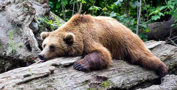 На Камчатке убили медведя, который стал нападать на домашний скот