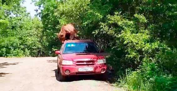 На Камчатке медведь залез на автомобиль и пытался проникнуть в салон (видео)