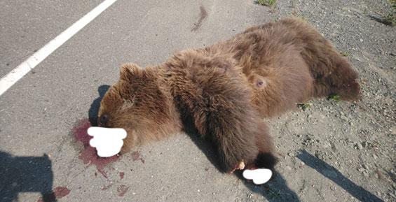 На Камчатке у сбитой на дороге медведицы неизвестные отрезали лапы и морду