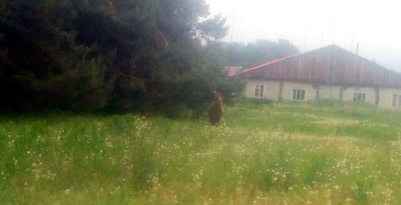 На Камчатке медвежонок забрел в районный центр