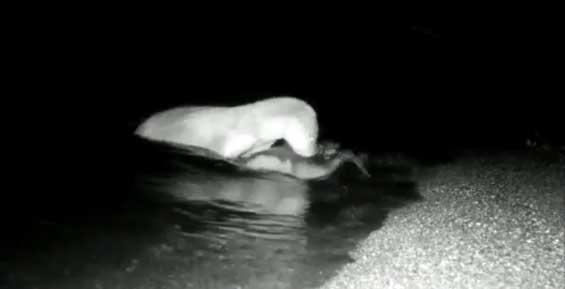 На Камчатке в фотоловушку ученых попала выдра-рыбачка (видео)
