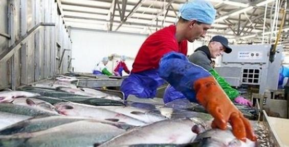 В следующем году на Камчатке обещают запустить новый рыбзавод