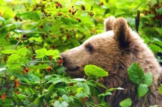 Медведи тоже подвержены кариесу
