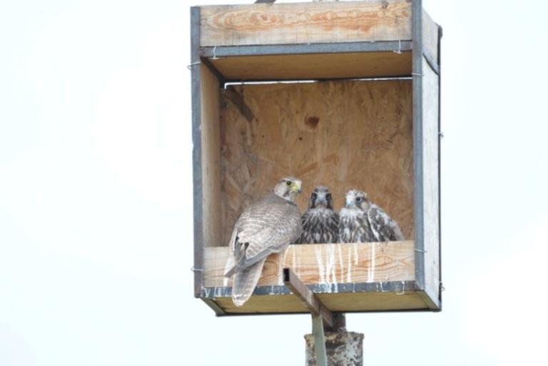 «Квартиры» делают для редких хищных птиц в Даурском заповеднике