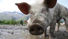 Выращенные в лаборатории легкие впервые пересадили свинье