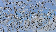 Шведский военный истребитель не пережил столкновения со стаей птиц