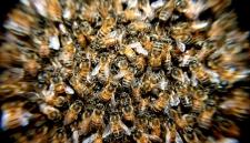 Рой пчёл атаковал Нью-Йорк