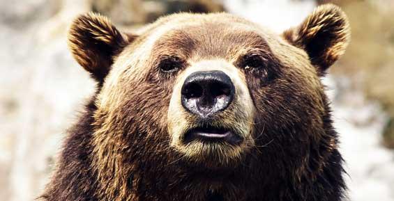 Жителей Елизова призвали к бдительности, в городе замечен медведь