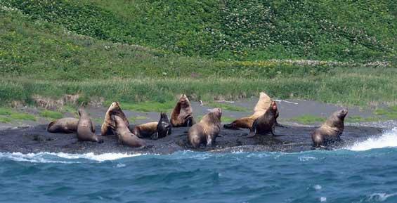 На Камчатке пересчитали китообразных и ластоногих (фото)