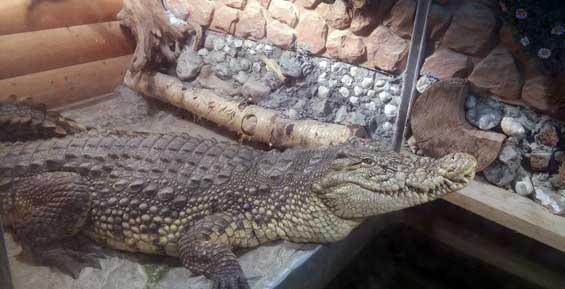 Администрация Елизовского района позаботилась о комфорте крокодила