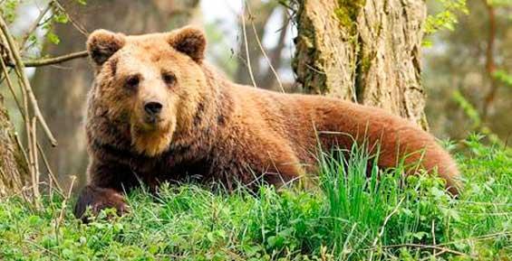 В город на Камчатке вновь забрел медведь