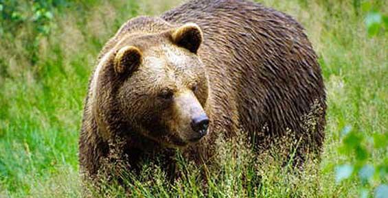 В город на Камчатке забрел медведь