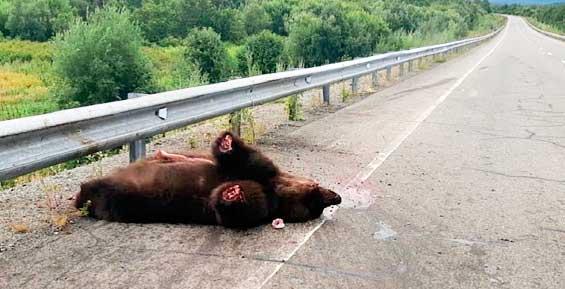 На Камчатке неизвестные отрезали лапы у погибшего в ДТП медведя (фото)