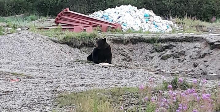 На Камчатке агрессивный медведь тяжело ранил женщину
