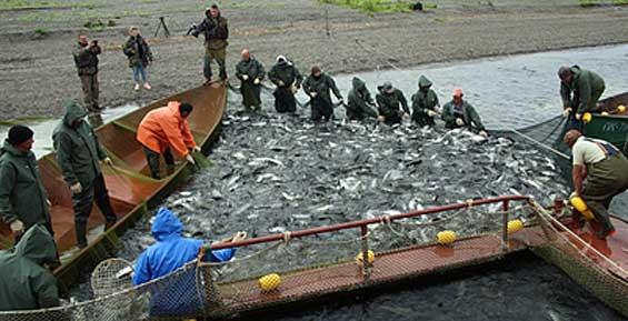 На Камчатке рыбаки в сутки вылавливают до 15 тысяч тонн лосося