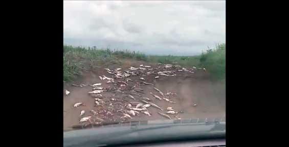 Икра под колесами: усыпанную рыбой дорогу видели на Камчатке и Сахалине (видео)