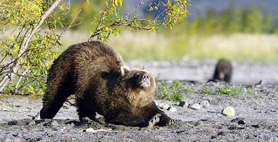 Фильм о камчатских медведях получил приз на фестивале «Киношок»