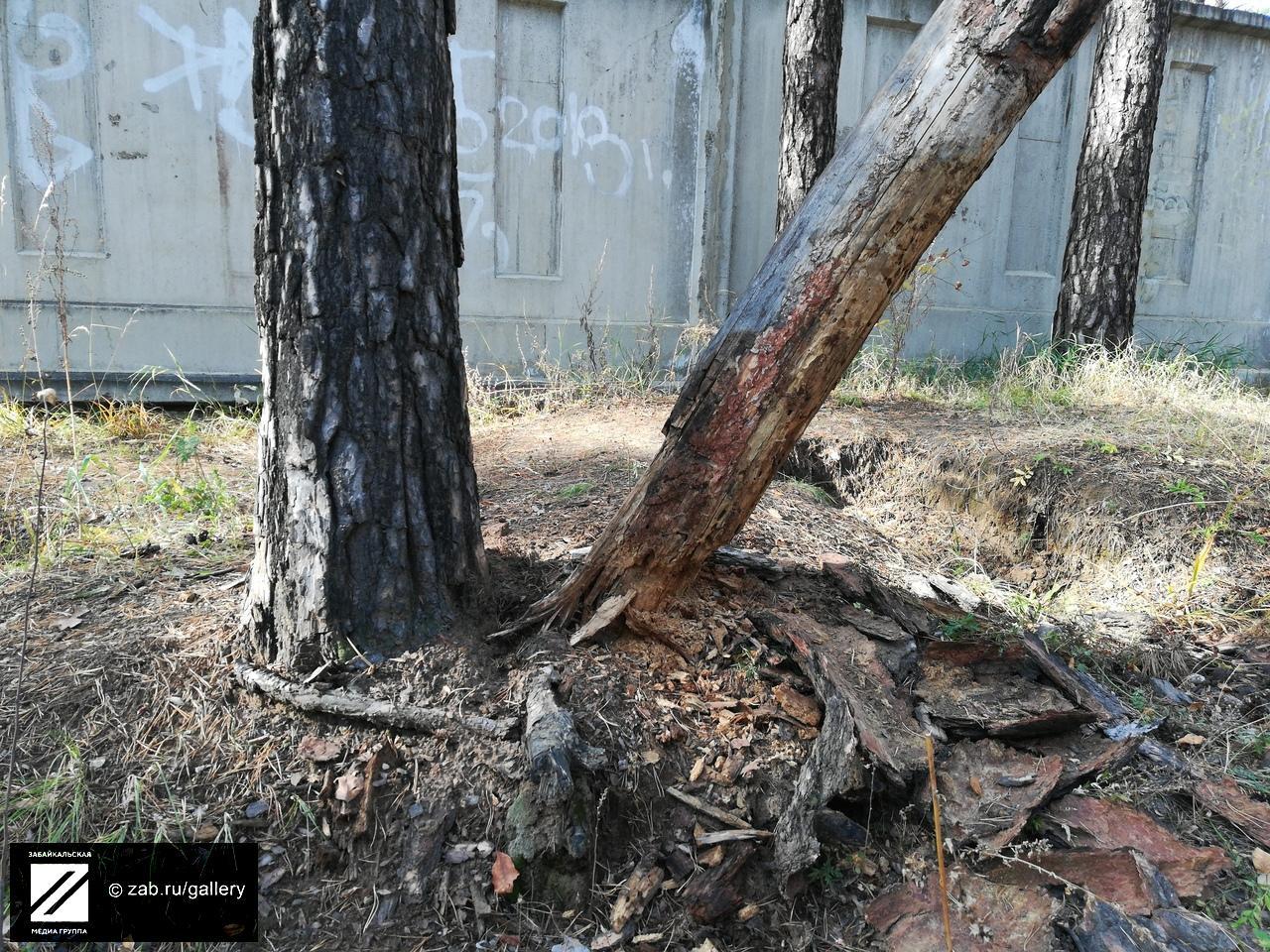 Сухое дерево грозит обрушиться на прохожих между «Академией Здоровья» и ККБ - очевидец