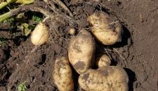 Россиян травят картофелем с кадмием