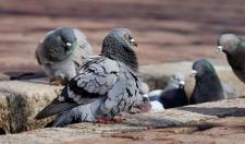 В Орловской области расследуют причину массовой гибели голубей