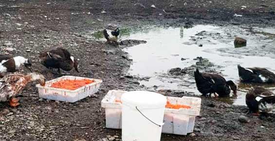 На Камчатке красной икрой кормят домашний скот (фото)