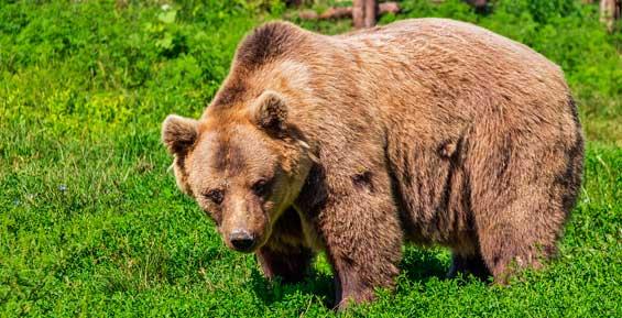 В международный аэропорт на Камчатке забрел медведь