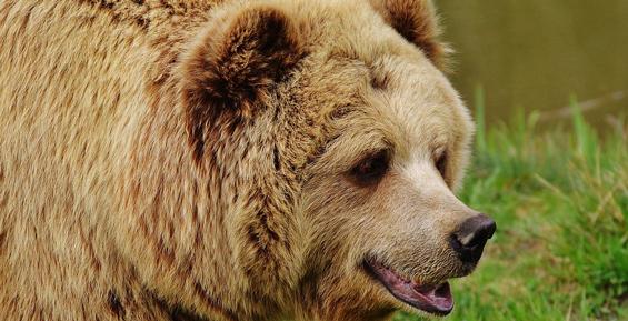 Охотоведам пока не удалось найти медведицу с медвежатами в поселке Дальний