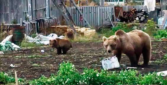 На Камчатке медведи проверили теплицу на даче и «унавозили» огород (видео)