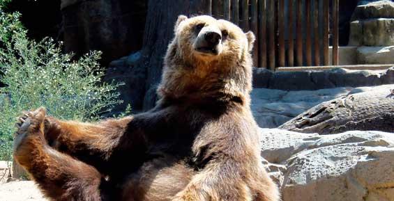 Власти ищут способы защиты от медведей жителей Усть-Камчатска