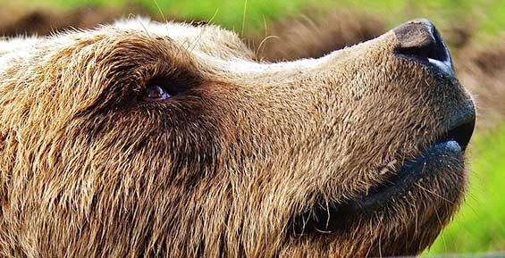 На Камчатке от лап медведя погиб 15-летний подросток