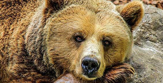 Защитой жителей Камчатки от медведей займутся опергруппы охотников