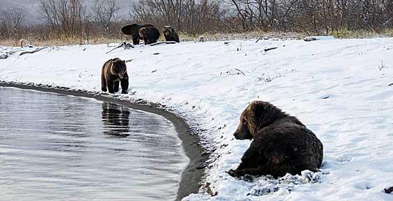 Ученые рассказали, почему медведи на Камчатке до сих пор не спят