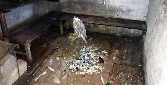В частном доме жителя Камчатки обнаружили ружье, боеприпасы и сокола-кречета (фото)